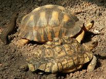 Fotografie, Panzer, Schildkröte
