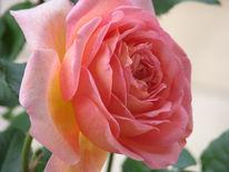 Fotografie, Rose, Stillleben