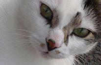 Weiß, Tiere, Katze, Augen