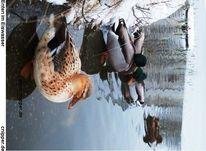 Wasser, Eis, Ente, Fotografie