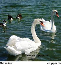 Schwan, Vogel, Wasser