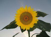 Sonnenblumen, Fotografie, Blau, Gelb