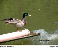 Wasser, Ente, Natur, Fotografie