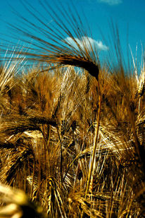Getreide, Sonne, Ähre, Korn