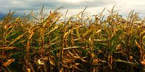 Mais, Wolken, Blätter, Feld