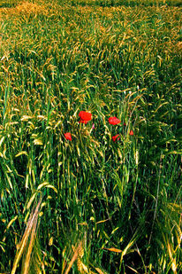 Feld, Pflanzen, Getreide, Sonne
