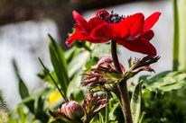 Anemonen, Blüte, Blumen, Makro