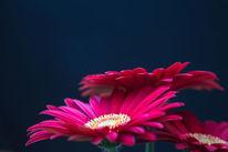 Blüte, Gerbera, Makro, Rot schwarz