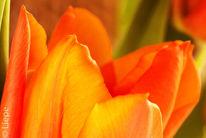 Orange, Tulpen, Blumen, Ausschnitt