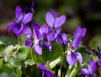 Blüte, Pflanzen, Blau, Frühling
