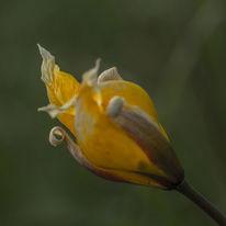 Weinbergtulpe, Blumen, Wildtulpe, Frühling