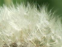 Löwenzahn, Blumen, Fotografie, Pflanzen