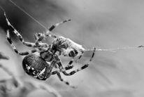 Wespe, Kreuzspinne, Natur, Netz