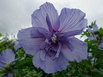 Blau, Blüte, Hibiskus, Fotografie