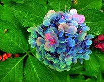 Fotografie, Blätter, Hortensien, Blüte