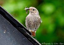 Natur, Fotografie, Vogel, Hausrotschwanz