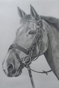 Portrait, Zeichnung, Pferde, Hengst