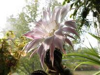 Kaktus, Outsider art, Echinopsis, Fotografie