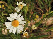 Natur, Kamille, Blüte, Fotografie