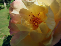 Rose, Morgentau, Fotografie