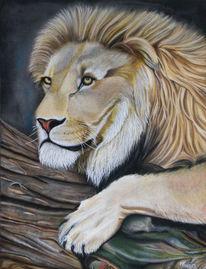 Löwe, Tierwelt, Tiere, Buam