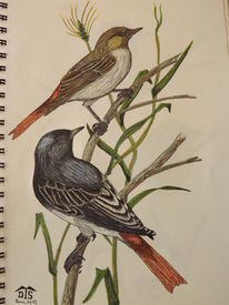 Singvogel, Vogel, Rotschwanz, Hausrotschwanz
