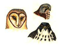 Greifvogel, Schleiereule, Eule, Vogel