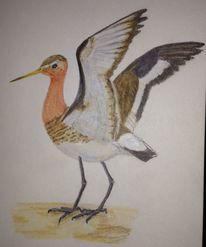 Tailed godwit, Wattvögel, Vogel, Uferschnepfe