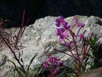 Blumen, Blüte, Felsen, Wild