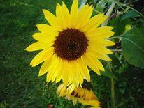 Blumen, Sonnenblumen, Sommer, Natur
