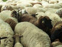 Tiere, Herd, Schaf, Weiße schafe