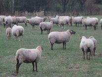 Schaf, Herd, Zählen, Weide