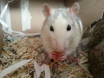 Ratte, Fotografie, Tiere