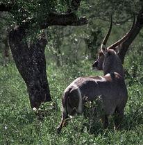 Afrika, Wasserbock, Safari, Horn