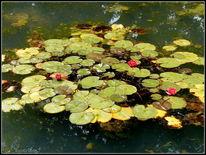 Pflanzen, See, Weiher, Fotografie