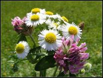 Pflanzen, Sommer, Gänzeblümchen, Wiesenblumen