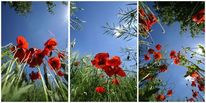 Triptychon, Mohn, Sommer, Farben