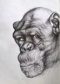 Portrait, Augen, Affe, Schwarz weiß