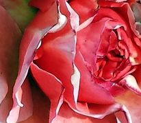 Rose, Kern, Blättrig, Fotografie