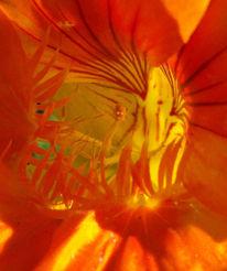 Blüte, Kapuziner, Kapuzinerkresse, Fotografie