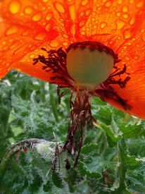 Mohn, Regen, Rot, Fotografie