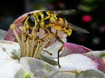 Insekten, Schwebfliege, Fliege, Apfel