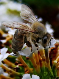 Tiere, Biene, Honigbiene, Insekten