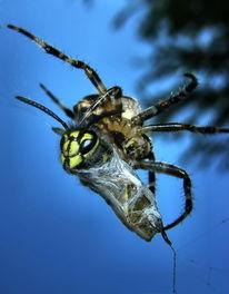 Natur, Spinne, Insekten, Makro