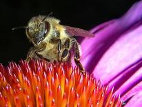 Insekten, Natur, Biene, Blüte