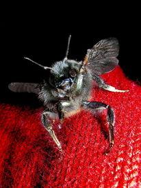 Hummel, Makro, Natur, Insekten