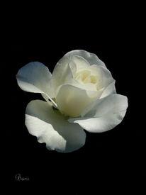 Rose, Blumen, Natur, Blüte