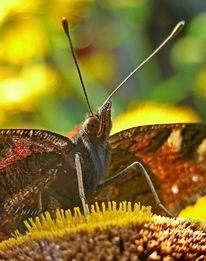 Sommer, Schmetterling, Natur, Makro
