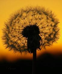 Natur, Sonnenuntergang, Blumen, Löwenzahn