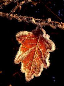 Winter, Starre, Blätter, Frost